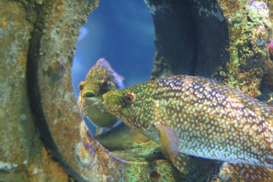 Barney-the-Ballan-Wrasse-is-Fascintated-by-his-own-Reflection-at-Bristol-Aquarium