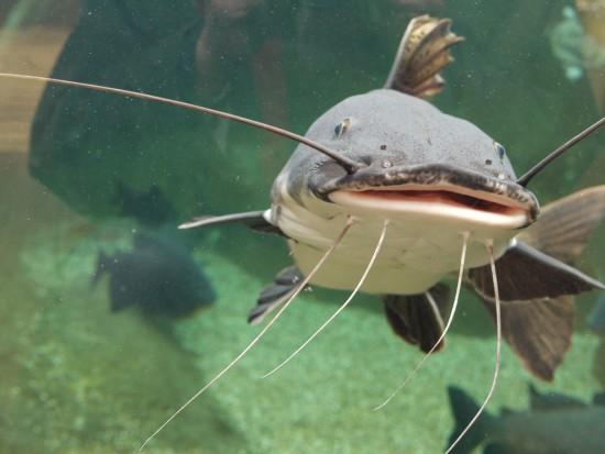 Bristol Aquarium catfish Amazon area