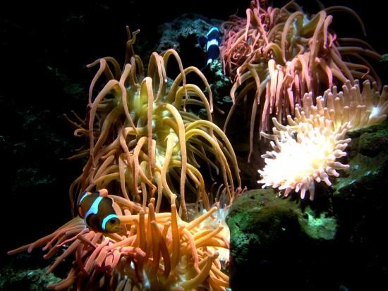 clownfish beauty
