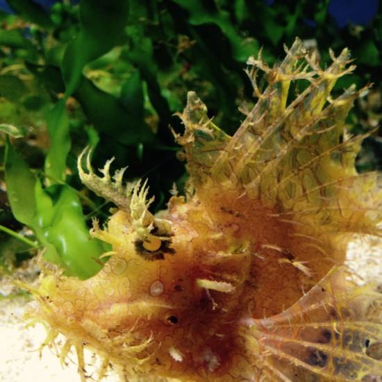 Bristol-Aquarium_Weedy-Scorpionfish_3_SarahMoore
