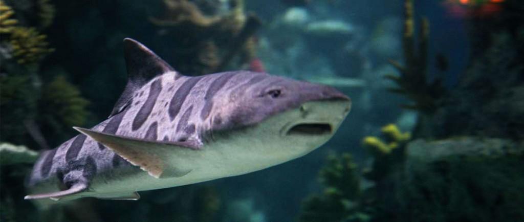 Californian Leopard Shark, Georgie at Bristol Aquarium.