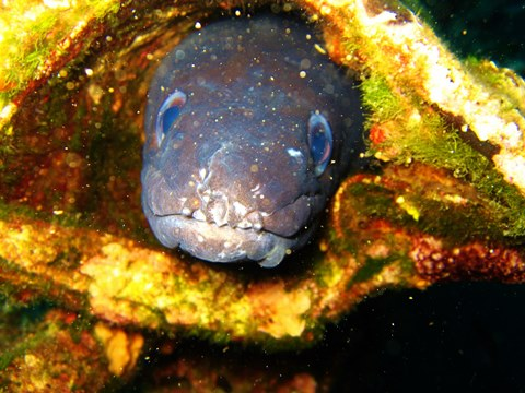 Conger eel_web