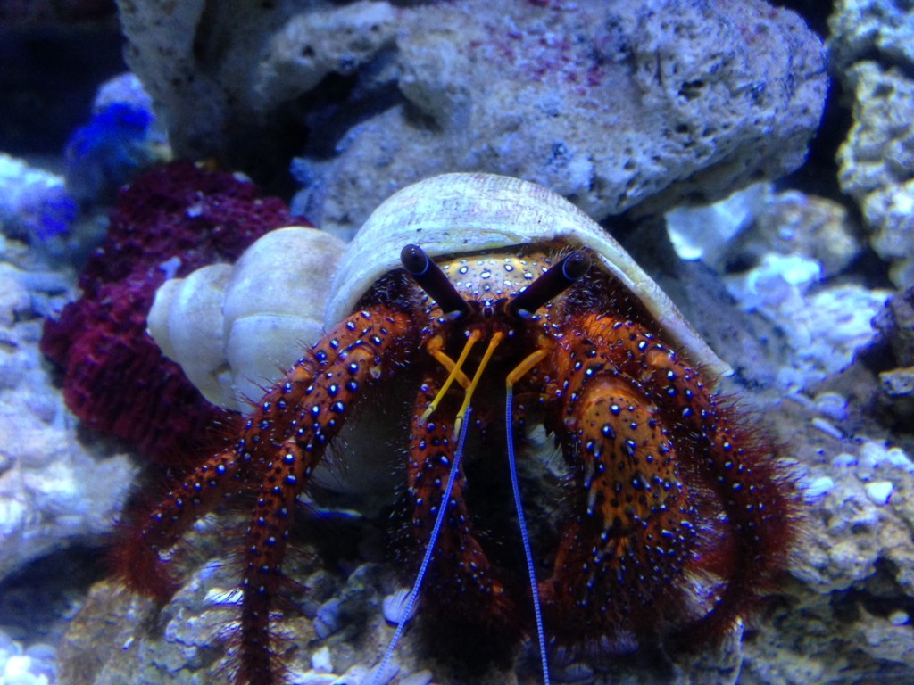 Hermit Crab at Bristol Aquarium