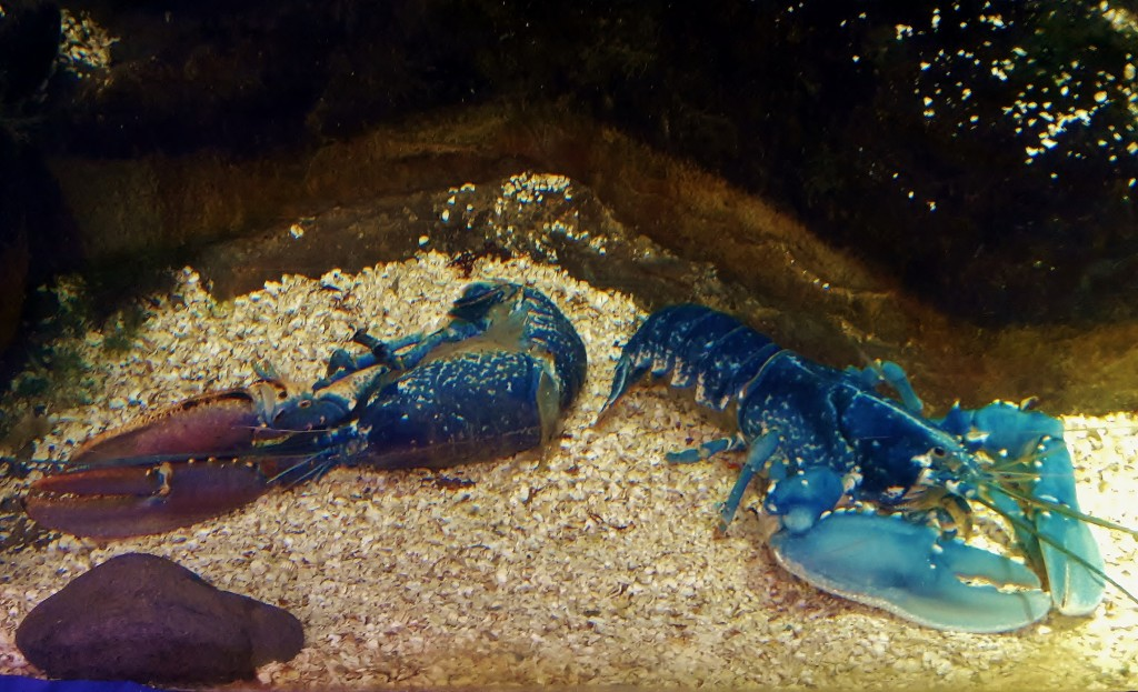 Charlotte the blue lobster on the right with her twin moult at Bristol Aquarium