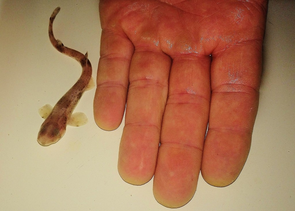 Baby catshark next to hand