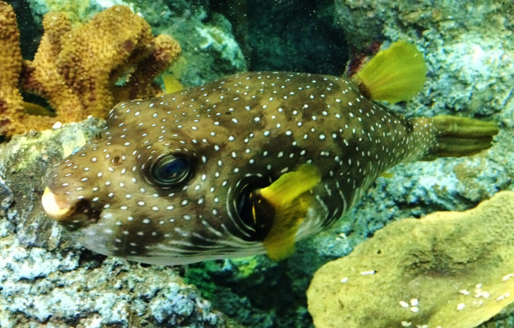 Hank the rugby ball-sized puffer fish at Bristol Aquarium