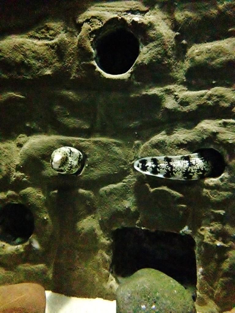 Snowflake moray eel exploring its new home at Bristol Aquarium