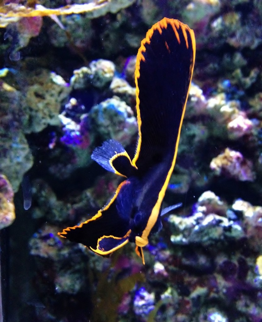 Baby Batfish at Bristol Aquarium