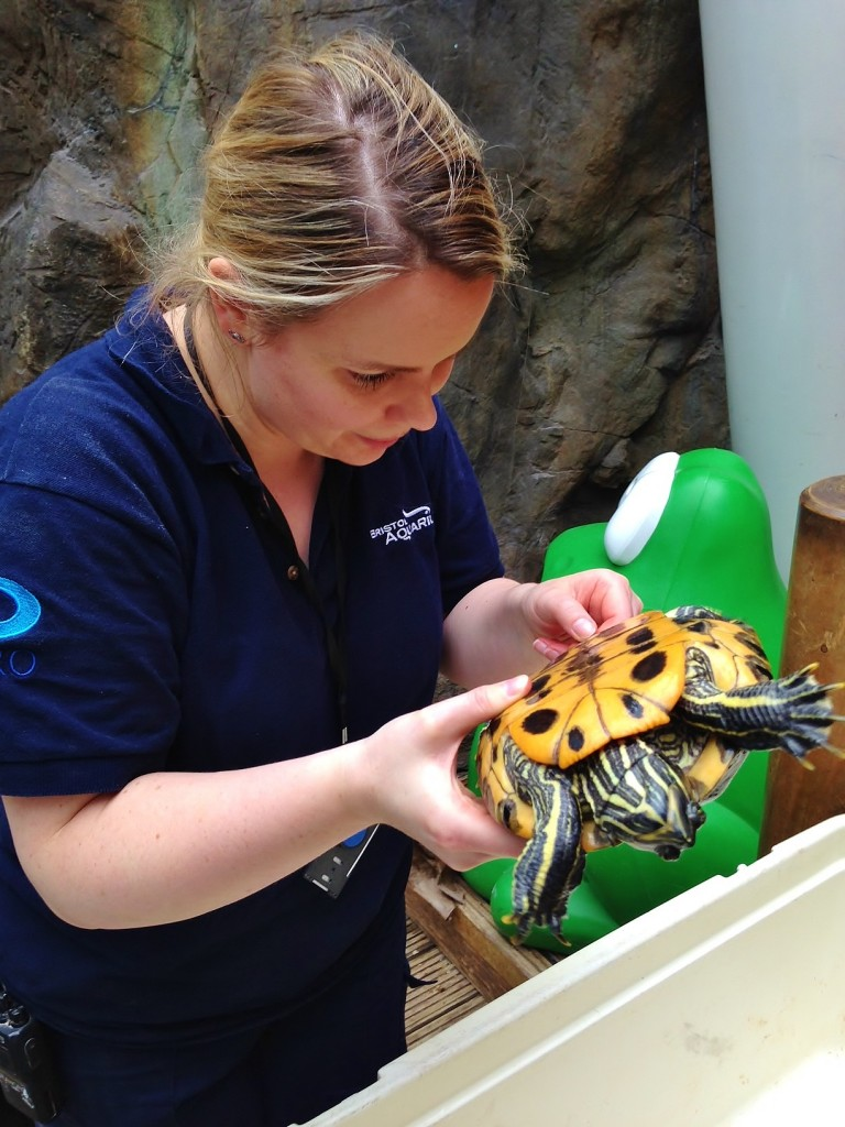 Verity Tounsend turtle tagging at Bristol Aquarium