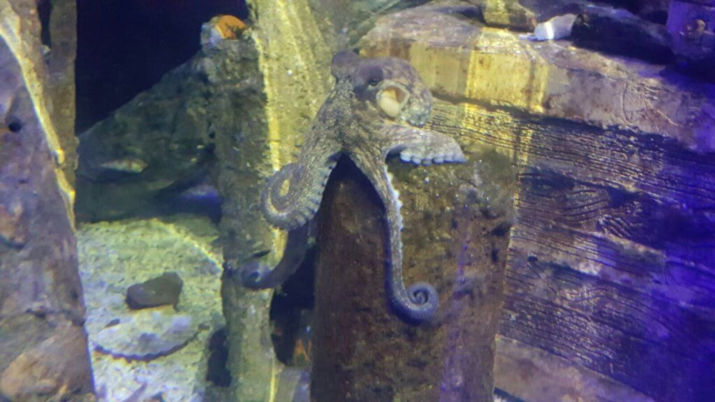 Common Octopus at Bristol Aquarium