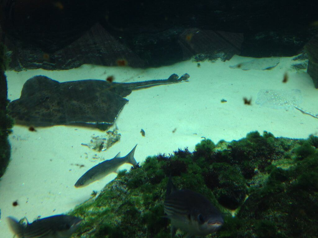 Fully Grown & Juvenile Ray in Bay of Rays Display at Bristol Aquarium