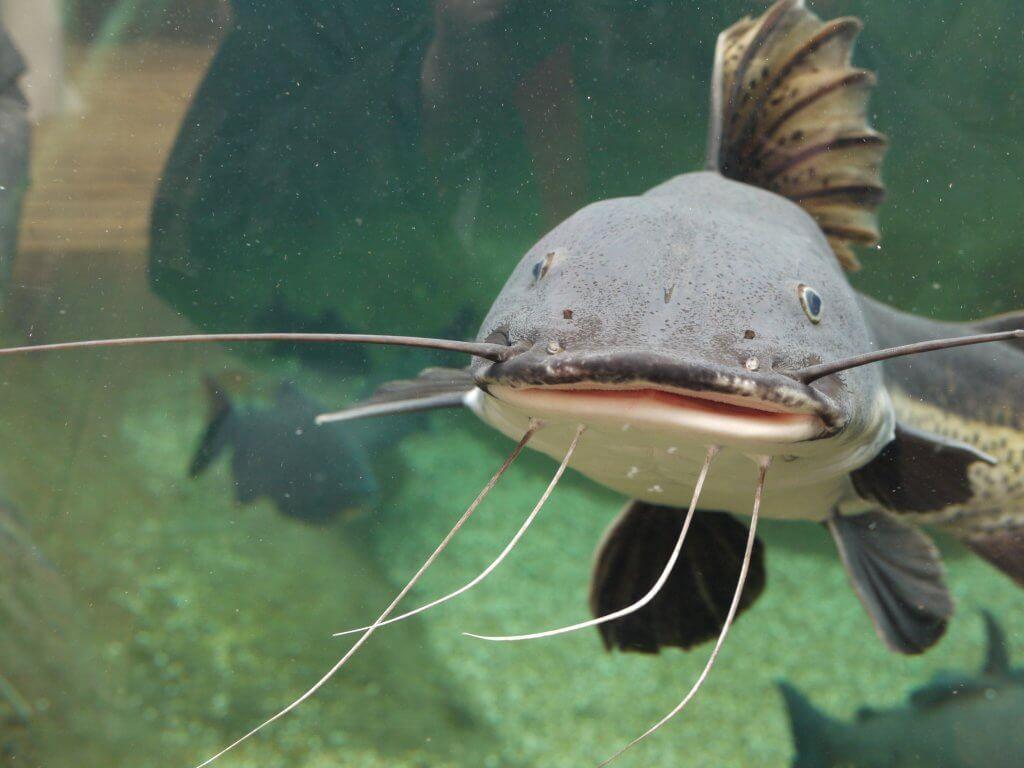 Catfish at Bristol Aquarium