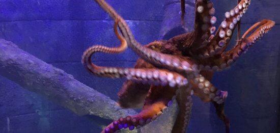 Giant Pacific Octopus at Bristol Aquarium