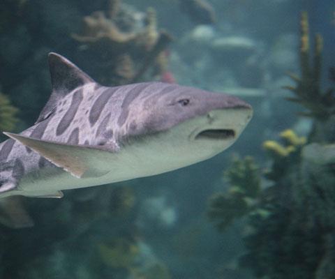Meet our Leopard Sharks